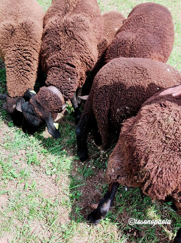 pecore di montagna